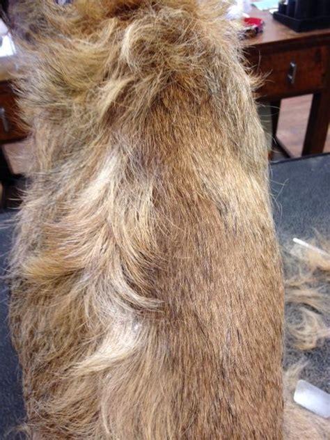 suburu hair salon dog hand stripped border terrier coat dog grooming