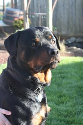 adopted    yr  male rottweiler  love