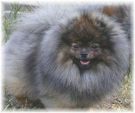 blue pomeranian puppies pomeranian breed 187 information pictures more