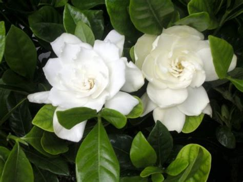 Gardenia Quality Foliera World Quality New Age Technology