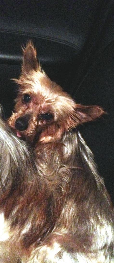 yorkies in maine adopt in maine on dogs and terrier