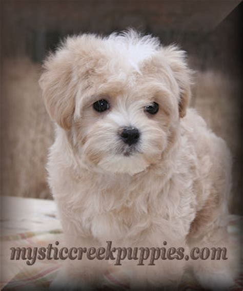 maltipoo puppies for sale in california care and of maltipoo puppies