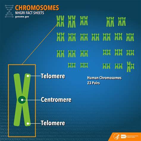 cuantas cadenas de adn tiene el ser humano chromosomes fact sheet national human genome research