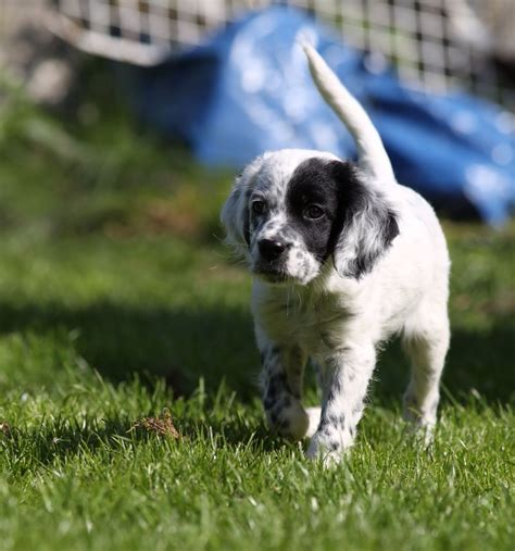 english setter dogs for sale uk working english setter guildford surrey pets4homes