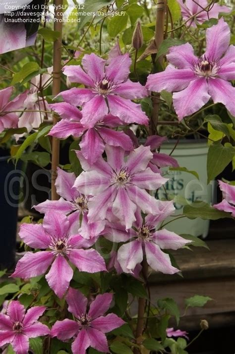 Clematis Ooh La La 2929 by Plantfiles Pictures Clematis Early Large Flowered