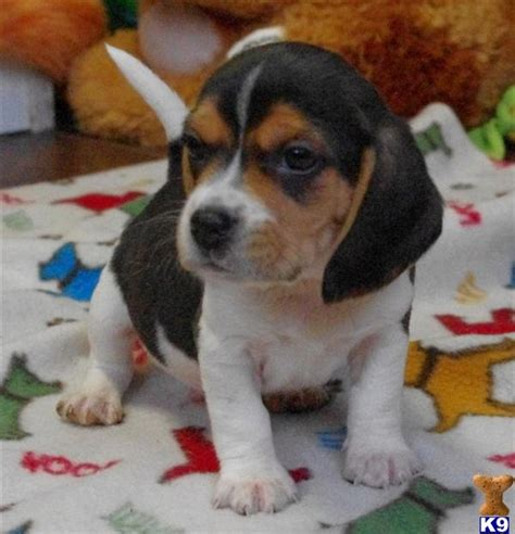 beagle puppies for sale in illinois document moved