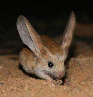 Eared Jerboa Endangered by The World S Catalog Of Ideas