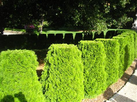 tips for planting hedges using shrubs for hedges