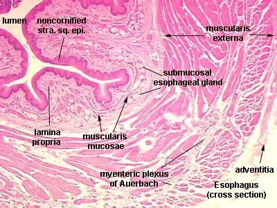 cross section of esophagus esophagus slide labeled anatomy physiology medical