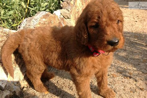goldendoodle puppies for sale in wisconsin goldendoodles in wisconsin breeds picture