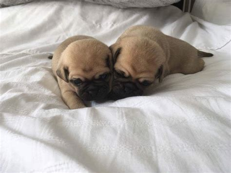 pug puppies for sale in uk pug puppies for sale lyndhurst hshire pets4homes