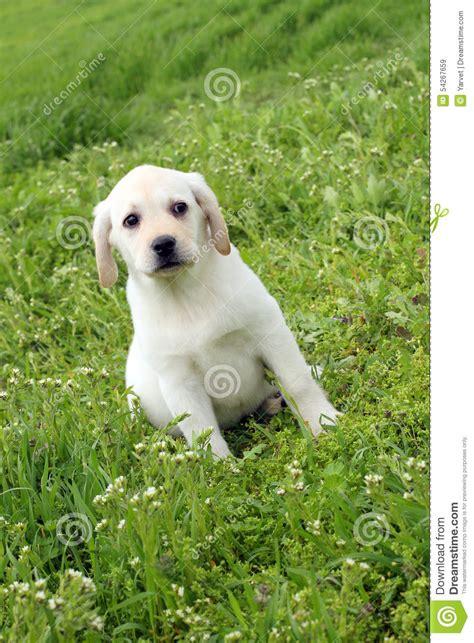 green labrador puppy yellow labrador puppy in green grass stock photo image 54267659