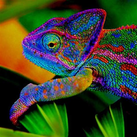 colorful chameleon a colourful chameleon beautiful creatures