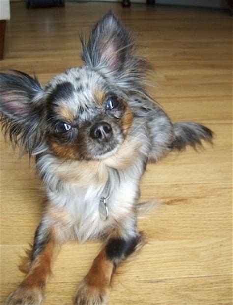 long hair chihuahua hair growth what to expect long hair merle chihuahua dog breeds picture