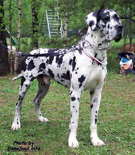 harlequin great dane puppies harlequin great dane dogs and pictures breeds picture