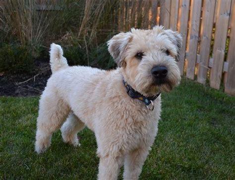 wheaten terrier haircuts 60 best wheaten terrier grooming images on pinterest