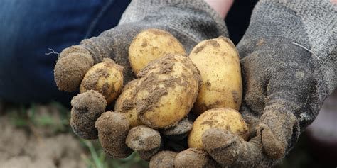 Potato Investment by Global Aginvesting