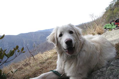 great pyrenees puppies for sale in pa great pyrenees puppies