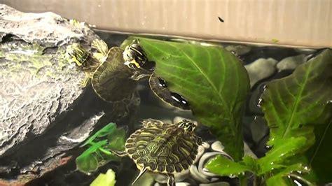 alimentazione tartarughe acqua dolce le mie tartarughe d acqua dolce