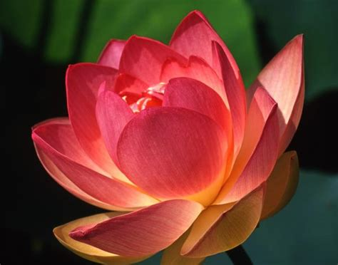 what is lotus blossom lotus flowers desktop wallpapers desktop wallpaper