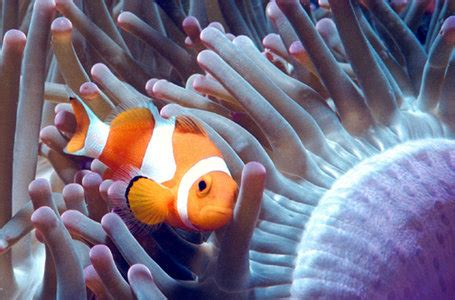 anemone eat clownfish clownfish subfamily hiprioninae our wild world