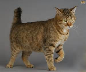6 large domestic cat breeds with relatives pets4homes