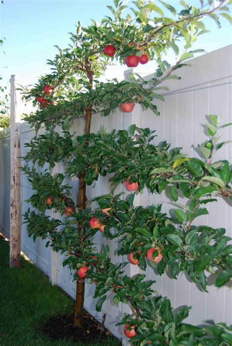 backyard apple trees reader photos andrea s espalier in idaho fine gardening
