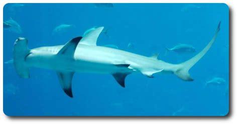 baby shark weight baby hammerhead shark weight berry blog