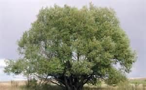 tree free wallpaper acute willow tree
