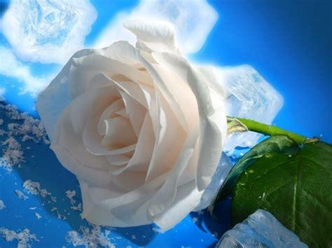 imagenes de rosas blancas hermosas imagui imagenes de las rosas mas bellas del mundo para compartir