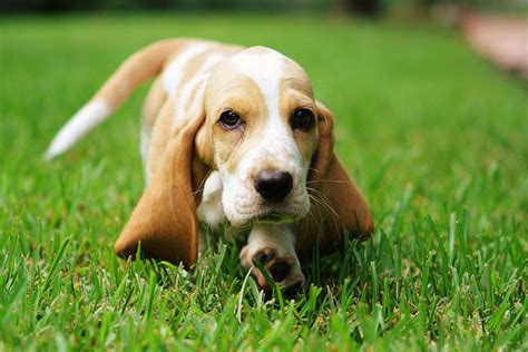 basset hound puppy rescue basset hound temperament names rescue adoption