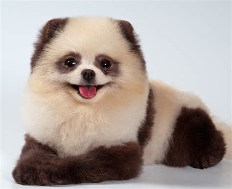 puppies that look like pandas 10 dogs that look like teddy bears pet care facts