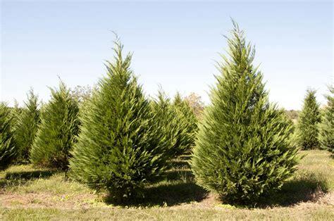 real christmas trees cuteomatic com