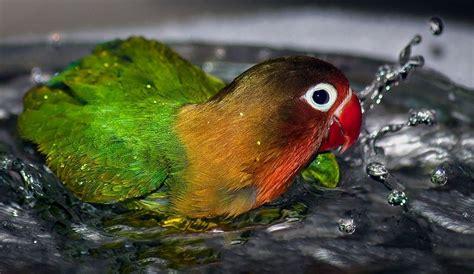 Pakan Alami Untuk Walet 6 cara membuat ramuan alami untuk memandikan burung kicau
