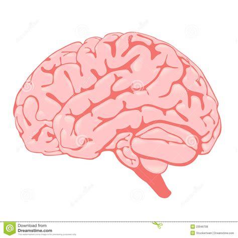 imagenes libres cerebro cerebro rosado la vista lateral fotos de archivo libres de