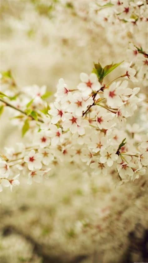 lv cherry blossom iphone cherry blossoms romantic white cherry blossom branch iphone 6 wallpaper