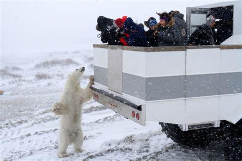 polar bears active early in churchill churchill polar bears
