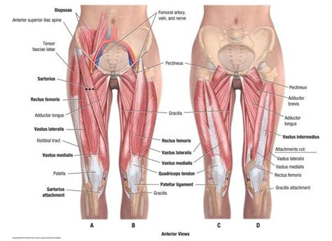 section 25 from the hip surface anatomy of hip leg google search the hip