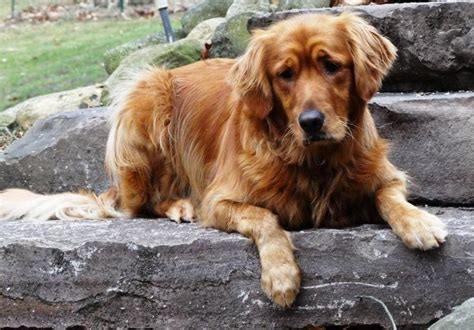 auburn golden retriever 17 best images about animals on aid for dogs and beds