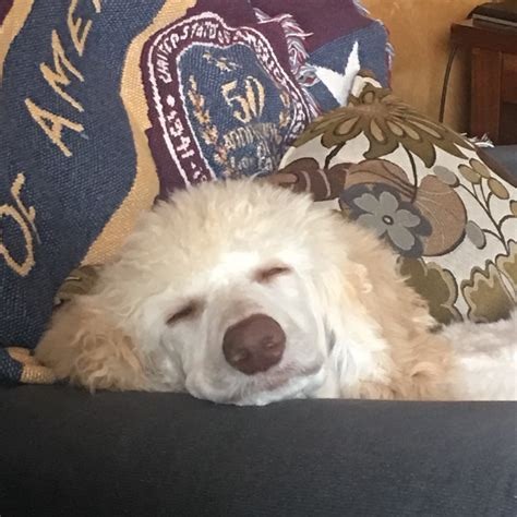 how much do puppies sleep at 6 months how much do puppies sleep poodle forum standard poodle poodle miniature