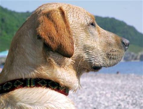 murmur in dogs canine murmur