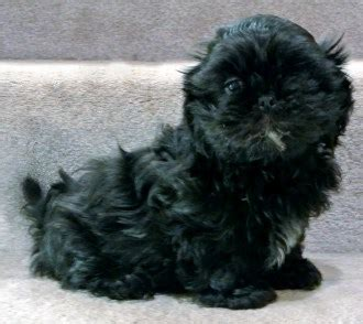 i want to buy a shih tzu puppy new owner checklist