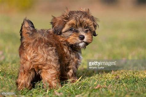 havanese puppies idaho havanese stock photos and pictures getty images