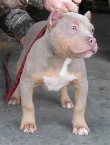 blue tri color pitbulls purple tri this color wish they hadn t cropped the