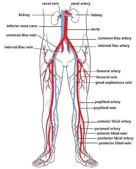 how long does it take for your leg hairs to grow back how fast will you bleed out if you cut the main artery in