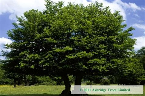 buy trees 28 images buy flowering trees the tree