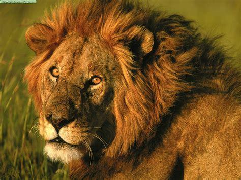 imagenes de leones lindas animaux las 10 que no sab 237 as de leones