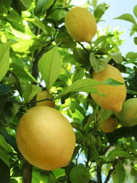 raccolta limoni in vaso quando potare il limone potatura