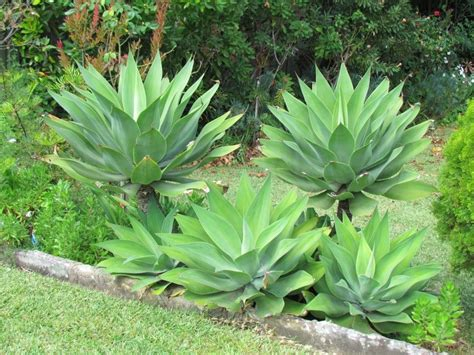 Garden Flower Plants Agave Attenuata Foxtail Agave Plant Photos Information