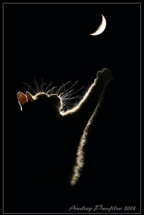 reaching for the moon reaching for the moon all things feline
